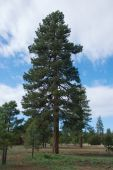Tall Ponderosa Pine Tree With Blue Sky