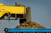 picture of sugar industry  - Agricultural mechanization dumping sugar beet in trailer - JPG