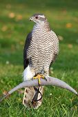 picture of goshawk  - The portrait of Northern Goshawk Accipiter gentilis - JPG