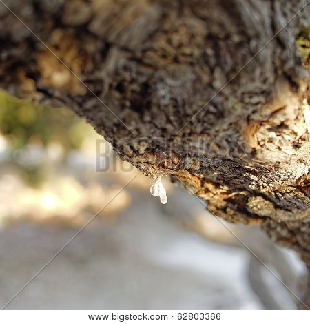 natural mastic drop close up
