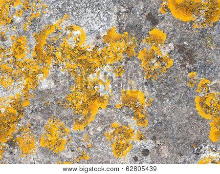 Xanthoria parietina lichen (Common Orange Lichen) growing on stone.
