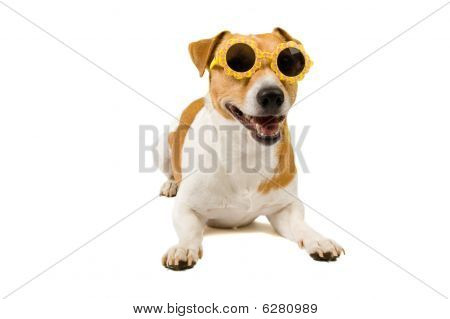 Jack Russel Is Wearing Sunglasses