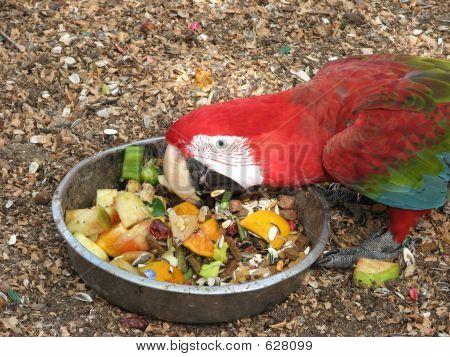 Scarlet Macaw Eating