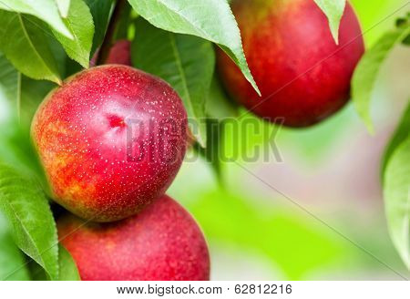Peaches hang on tree between green leaves