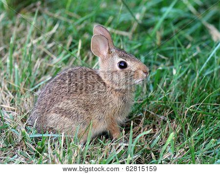 Juvenile Eastern Cottontail Rabbit