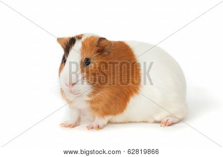 Guinea-pig On The White Background