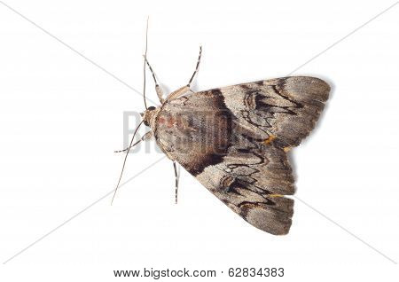 Light Crimson Underwing Moth