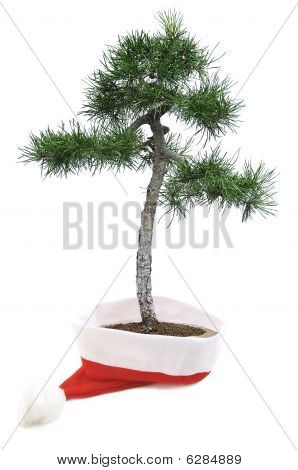 Bonsai Tree In Santa Hat.