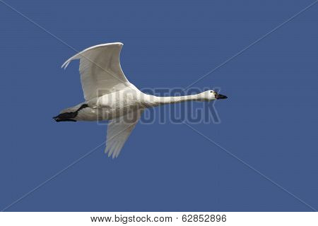 Tundra Swan In Flight Against A Deep Blue Sky