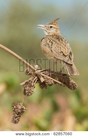 Crested Lark Calling From A Dried Stem With Seeds