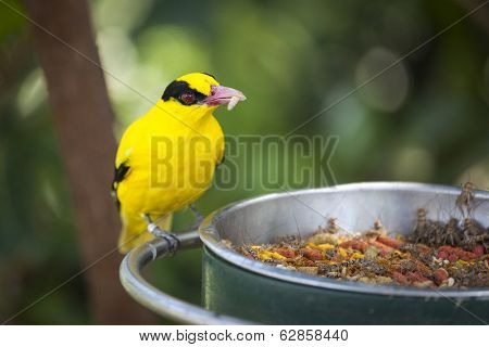 Feeding Black-naped Oriole of Eastern Asia with a Worm in Beak.