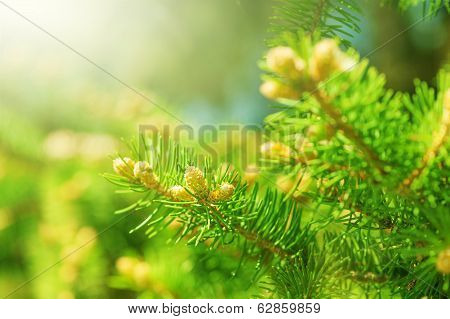 Young Shoots Of Pine Trees