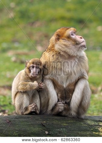 Berber Monkey Mother And Child