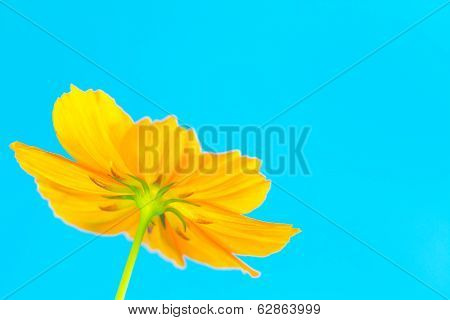 Orange Cosmos Wild Flower