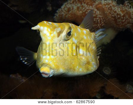 Horned Boxfish