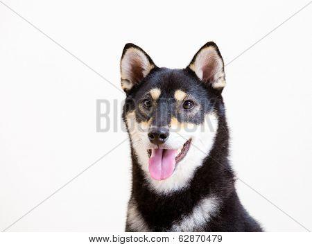 Black shiba inu dog smile