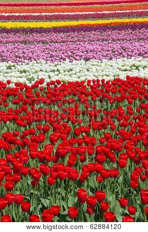 Tulip Field Color Pattern Background