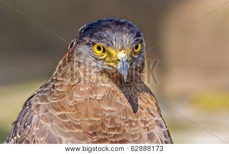 Close Up Portrait Of A Captive Golden Eagle  Aquila Chrysaetos W