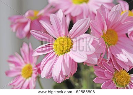 Flowers Of Chrysanthemum Pink