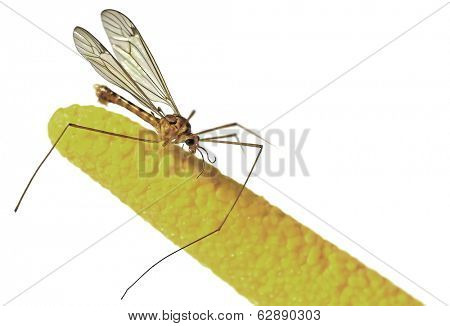 Extreme closeup of the spider called Daddy Long legs spider isolated on white