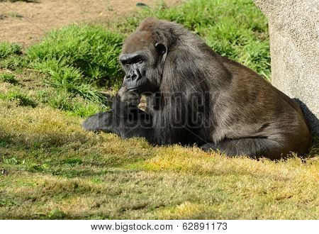 Nice Image of a Adult Silverback Gorilla