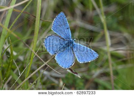 Adonis Blue Butterfly, Polyommatus Bellargus