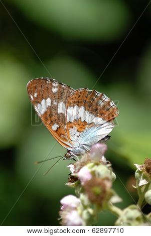White Admiral Butterfly, Limenitis Camilla