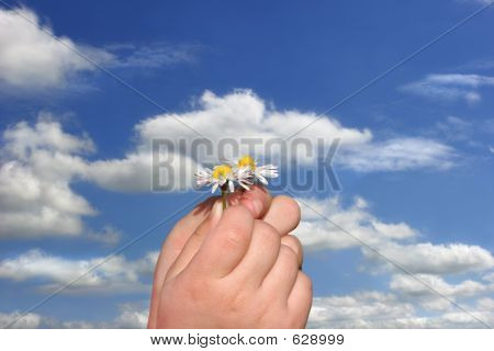 Little Daisies In Little Hands