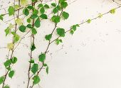 stock photo of ivy vine  - ivy leaves on wall background for wallpaper - JPG