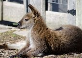 picture of wallaby  - Wallaby sits observing its surrounding at a petting zoo.