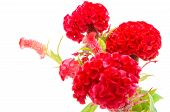 picture of celosia  - Red flower - JPG