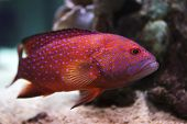 stock photo of grouper  - red grouper swims among the corals and anemones - JPG