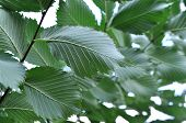 stock photo of elm  - elm branch with green leaves - JPG