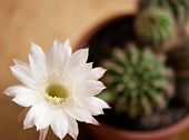 stock photo of peyote  - Blooming cactus Queen of the night growing in a pot - JPG