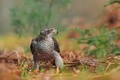 picture of goshawk  - Photo of Common goshawk in forrest standing on the ground - JPG
