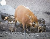 Постер, плакат: Visayan Warty Piglet with Mother in the Dirt