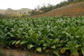 stock photo of tobaco leaf  - Fresh green tobacco field in a Vinales countryside in Cuba - JPG