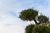 stock photo of olive shaped  - a shaped olive tree branch against the blue sky - JPG