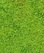 pic of irish moss  - Baby Tears  - JPG
