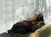 Nice Image of a relaxing Chimpanzee