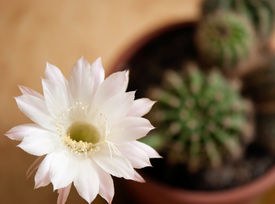 pic of peyote  - Blooming cactus Queen of the night growing in a pot - JPG