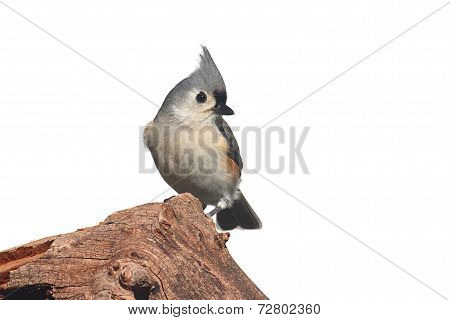 Isolated Titmouse On A Stump