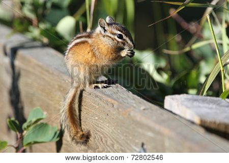 Least Chipmunk Eating A Seed - Alberta, Canada