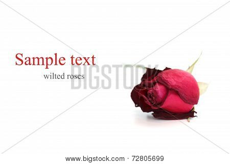 Wilted Roses White Background