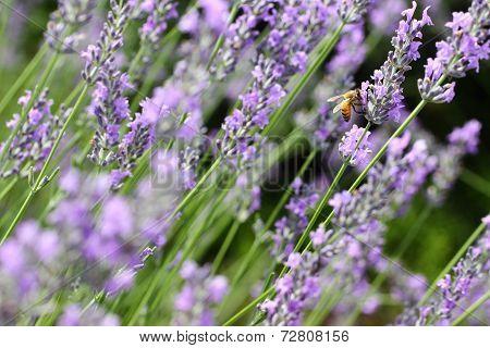 Lavender Plant Flowers