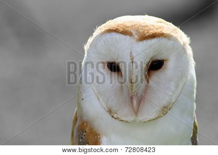 Great Sad Barn Owl On Gray Background