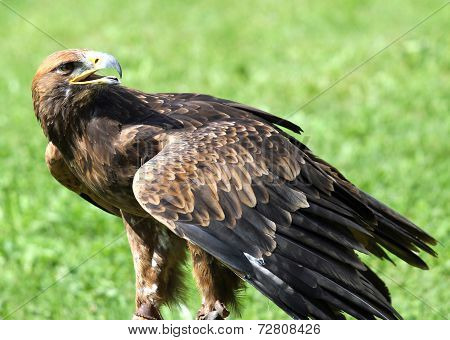 Great Eagle On Meadow In The Mountains Ready To Fly