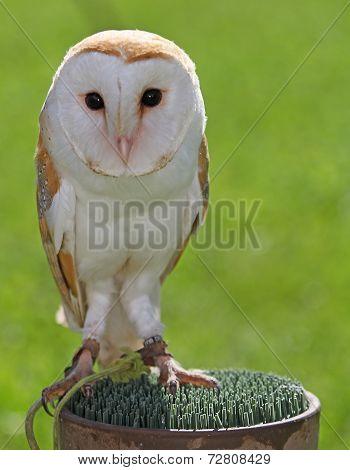 Barn Owl With Dark Eyes Many Perched On A Pedestal