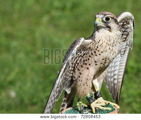 Little Peregrine Falcon Perched On A Support