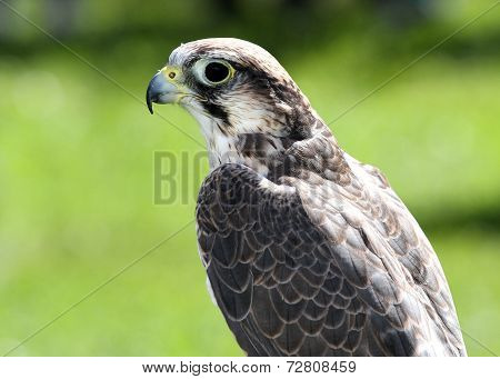 Peregrine Falcon With Fixed Gaze And Black Eyes